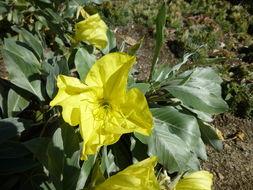 Image of bigfruit evening primrose