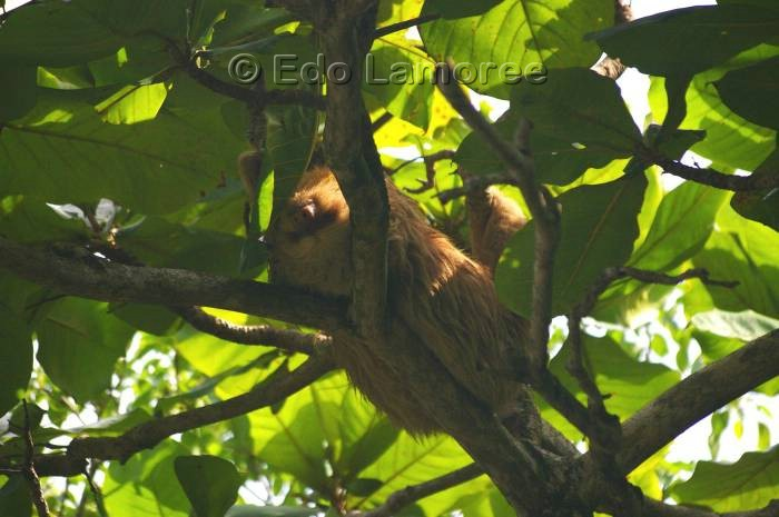 Image of Hoffmann's Two-toed Sloth