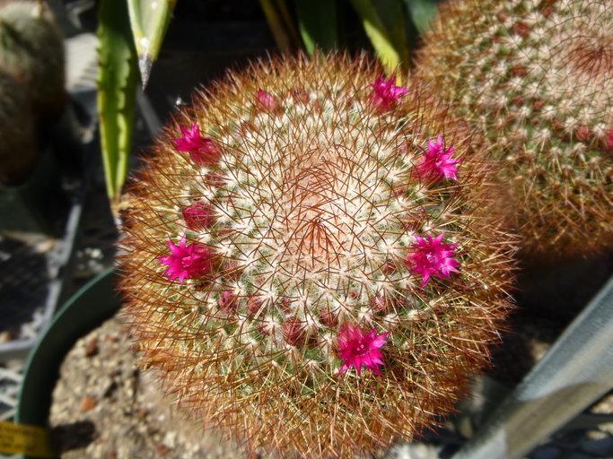 Image of <i>Mammillaria spinosissima</i> Lem.