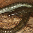 Image of Olive Mountain Keelback