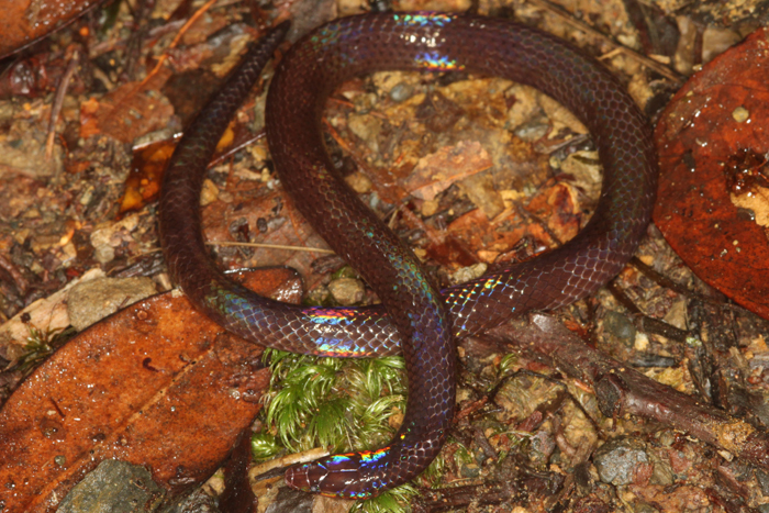 Image of Cantor's Dwarf Reed Snake