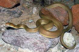 Image of Baja California Rat Snake