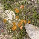 Image of Berlandier's yellow flax