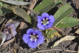 Image of Carpet flower