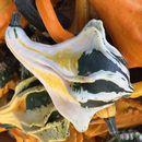 Image of field pumpkin