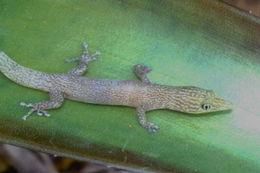 Image of Ashy gecko