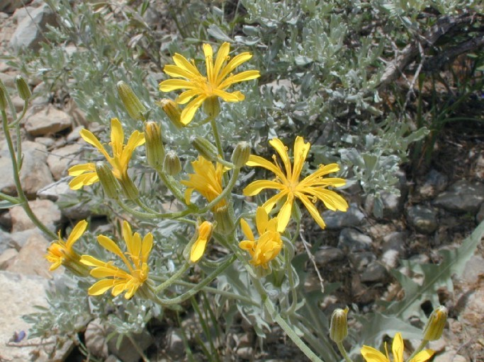 Image of largeflower hawksbeard