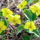 Image of <i>Viola orientalis</i> (Maxim.) W. Beck.