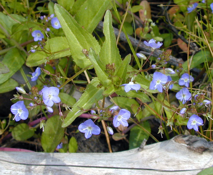 Image of American speedwell