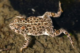 Image of Yosemite toad