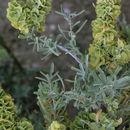 Image of fourwing saltbush