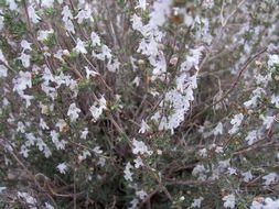 Image of <i>Satureja cuneifolia</i> Ten.