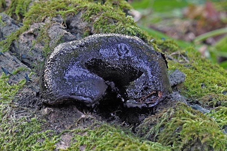 Image of <i>Camarops petersii</i> (Berk. & M. A. Curtis) Nannf. 1972