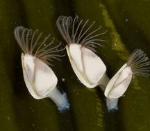 Image of Goosefish Barnacle