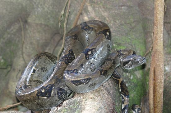 Image of Common boa constrictor