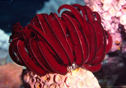 Image of Strong arm crinoid