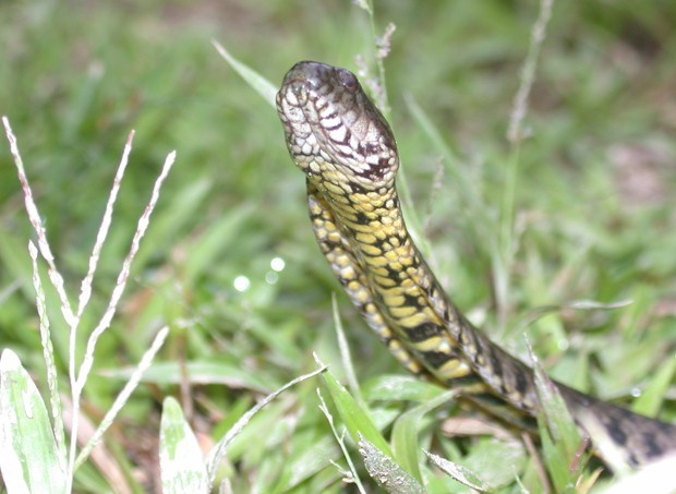 Image of Norman's Keelback