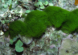 Image of Green Hair Algae