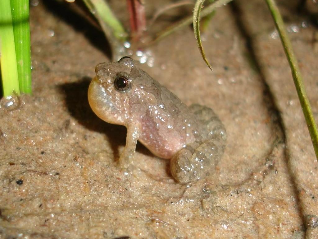 Image of <i>Pseudopaludicola atragula</i> Pansonato, Mudrek, Veiga-Menoncello, Rossa-Feres & Martins