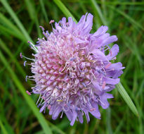 Image of field scabiosa