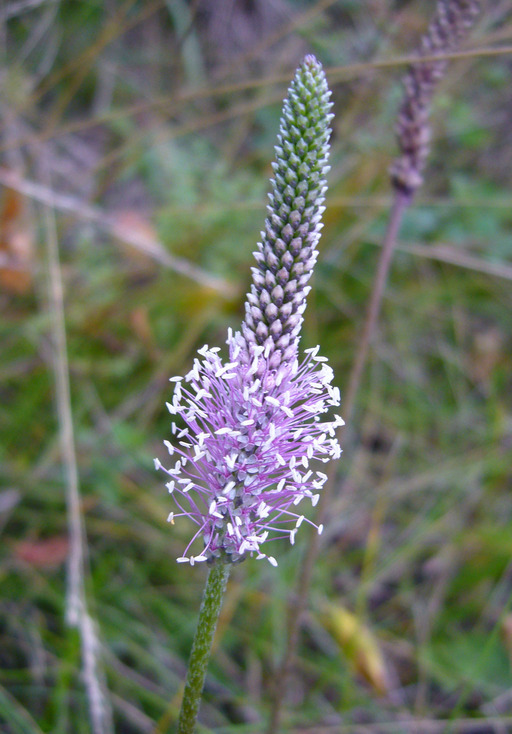 Image of Hoary Plantain