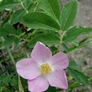 Image of prickly rose
