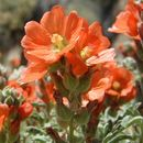Image of scarlet globemallow