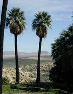 Image of California fan palm