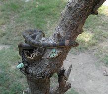 Image of Southwestern Cat-eyed Snake