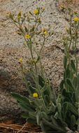 Image of prickly hawkweed