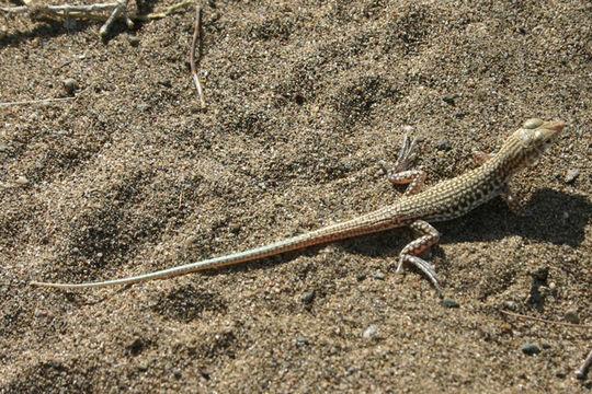 Image of Blanford's Fringe-fingered Lizard