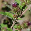 Image of lesser burdock