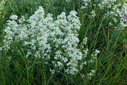 Image of northern bedstraw