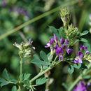 Image of alfalfa