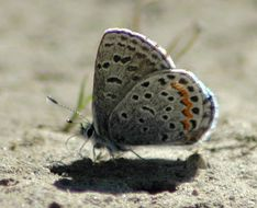 Image of Dotted Blue