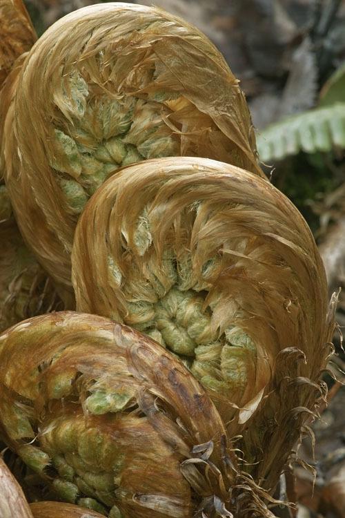 Image of <i>Dryopteris crassirhizoma</i> Nakai