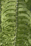 Image of Ostrich fern