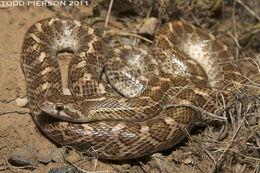 Image of Glossy Snake