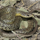 Image of Eastern Yellowbelly Racer