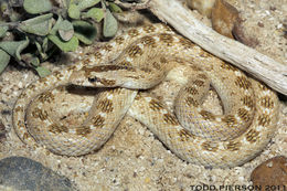 Image of Crowned Leafnose Snake