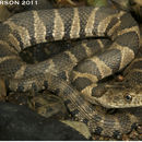 Image of Midland Water Snake