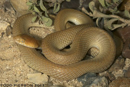 Image of Arabian Tiger Snake