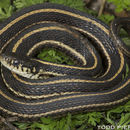 Image of Plains Garter Snake