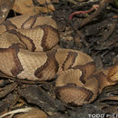 Image of Southern Copperhead