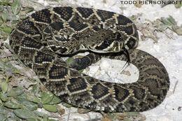 Image of Eastern Diamond-backed Rattlesnake