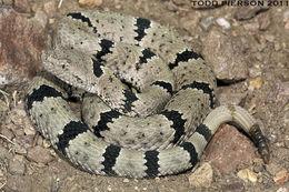Image of <i>Crotalus lepidus klauberi</i> Gloyd 1936