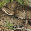 Image of Arizona ridge-nosed rattlesnake
