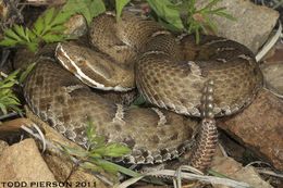 Image of New Mexican Ridge-nosed Rattlesnake