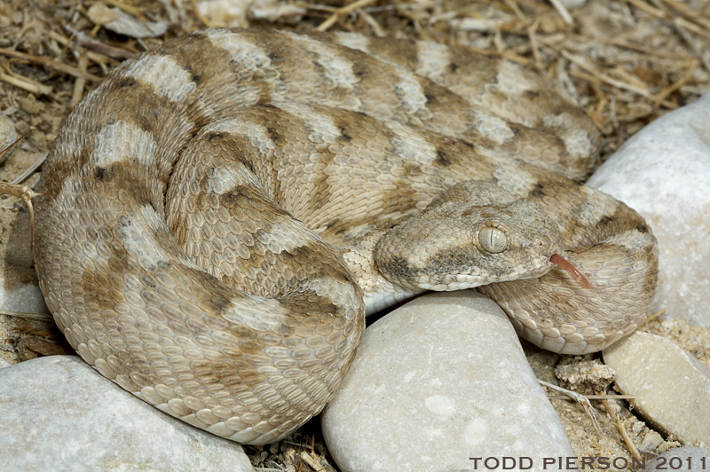 Image of Palestine saw-scaled viper