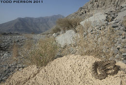 Image of Oman Saw-scaled Viper